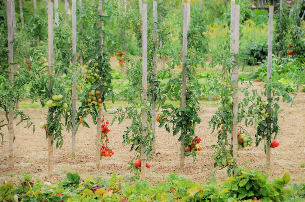culture de tomate